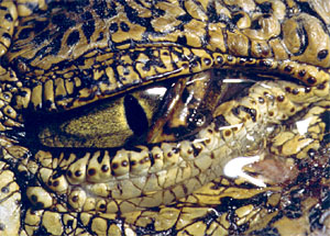 Crocodilian Biology Database - FAQ - Do crocodiles cry