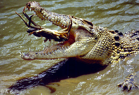 Crocodilians: Natural History & Conservation: Crocodiles, Caimans ...